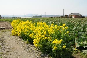 Canola flowers.
