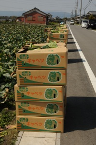 Harvested cabbages