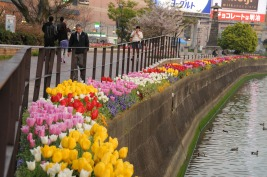 Tulips near Canal City.