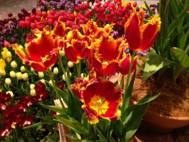 More tulips inside Canal City..