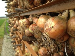 Onions drying in the fields.