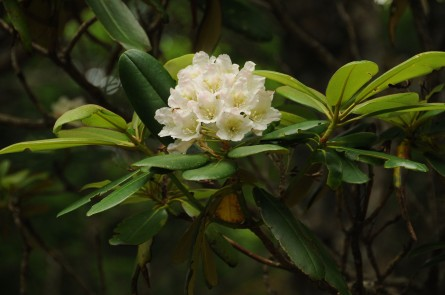 Rhododendron (ロードデンドロン )