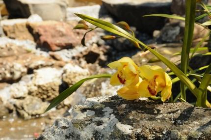 Cymbidium orchids.