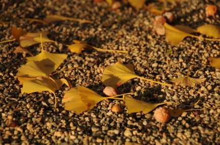 Fallen gingko biloba leaves and nuts.