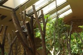 The koala enclosure.