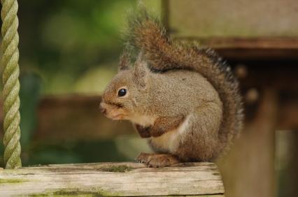 Japanese squirrel (Sciurus lis)
