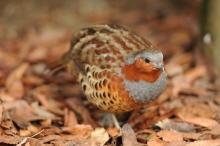 Japanese quail (鶉 - uzura)