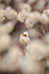 Plum blossoms