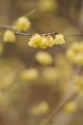Wintersweet (Chimonanthus praecox, ロウバイ)