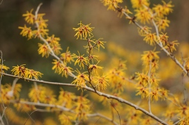 Chinese Witch Hazel (Hamamelis mollis, シナマンサク)