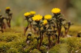 Adonis ramosa, a rare Japanese wildflower (フクジュソウ)