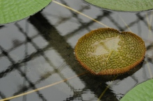 Victoria amazonica waterlily leaves.