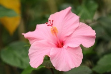 Hibiscus in the hothouse.
