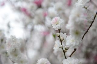 Ornamental peach tree blossoms.