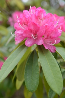 Azuma Rhododendron ( Rhododendron degronianum - シャクナゲアズマ)