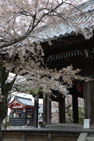 Cherry blossoms at the temple.