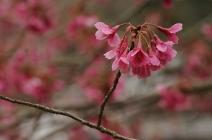 Taiwan Cherry (カンヒザクラ)