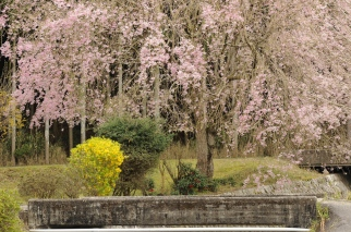 Weeping cherry tree.
