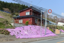 Alpine Phlox, Shibazakura (芝桜), in full bloom.