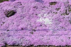 Alpine Phlox, or Shibazakura (芝桜).