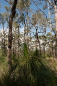 Grass trees at Mt French.
