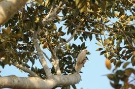 A little corella (Cacatua sanguinea).