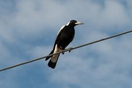 Menacing magpie