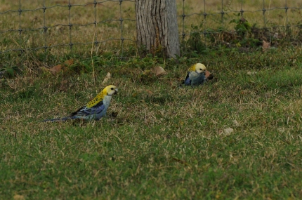 Pale Headed Rosellas
