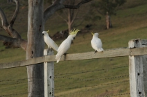 Sulfur Crested Cockatoos