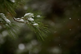 Snow on pine needles.