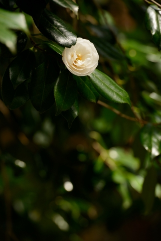 Camellia's starting to bloom.