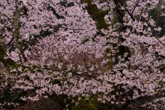 Cherry blossoms in the rain in Nara.