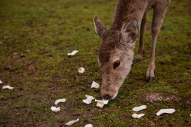 A deer eating magnolia petals.