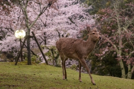 Deer and cherry blossoms, Nara Park.