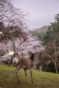A deer enjoying the twilight calm in Nara Park.