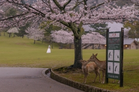 Love all around in Nara Park.