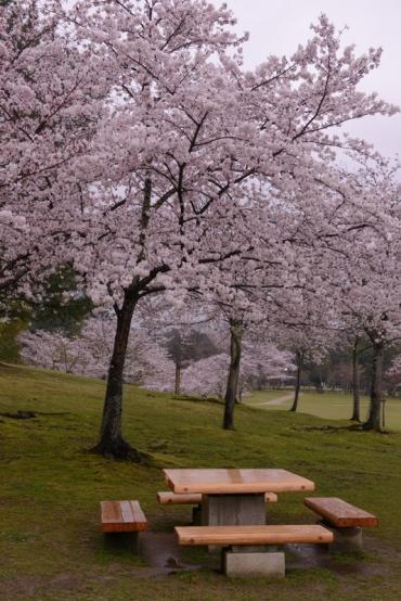A cherry blossom picnic spot.