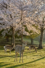 Nara's famous wild deer at dawn under the cherry blossoms.