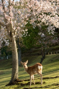 A young deer beneath a cherry tree in full bloom, in Nara Park.