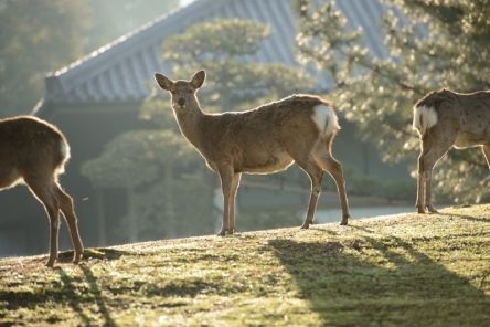 Deer at dawn in Nara Park.