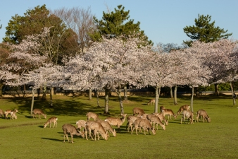 Deer and cherry blossoms in Nara Park.