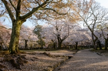 Cherry blossoms in Nara Park.