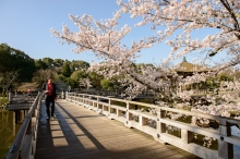 Cherry blossoms and the Ukimido Pagoda near Nara Park.