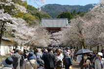 The busy crowds enjoing the cherry blossoms at the World Heritage Listed Daigoji Temple.