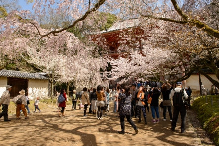 Cherry blossoms at the World Heritage Listed Daigoji Temple.
