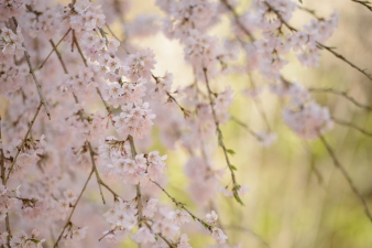 Weeping cherry blossoms at the World Heritage Listed Daigoji Temple.