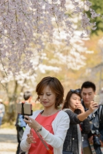 Photo session under the cherry blossoms at the World Heritage Listed Daigoji Temple.