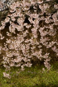 Backlit cherry blossoms at Daigoji Temple.