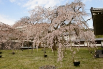 The most famous cherry tree at Daigoji Temple.