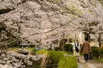 A couple strolling under the cherry blossoms along the Philosopher's Path, Kyoto.